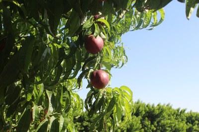Alcarràs acull la XXIII Exposició comentada de varietats de préssec i nectarina aquest dijous