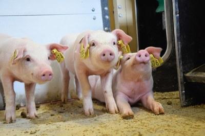 L'Ajuntament d'Alcarràs incorpora una enginyera tècnica agrònoma per a gestionar un projecte FEDER sobre la producció porcina sostenible